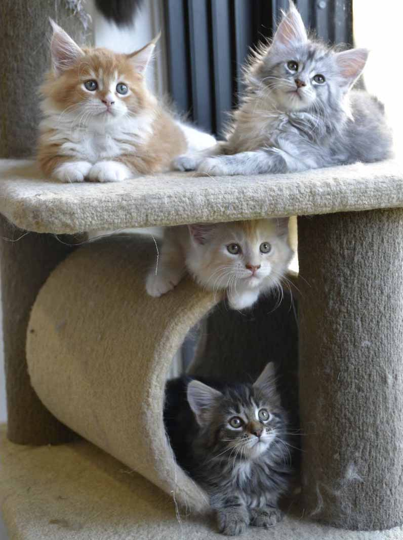 Maine Coon Breeders Australia | Maine Coon Info & kittens