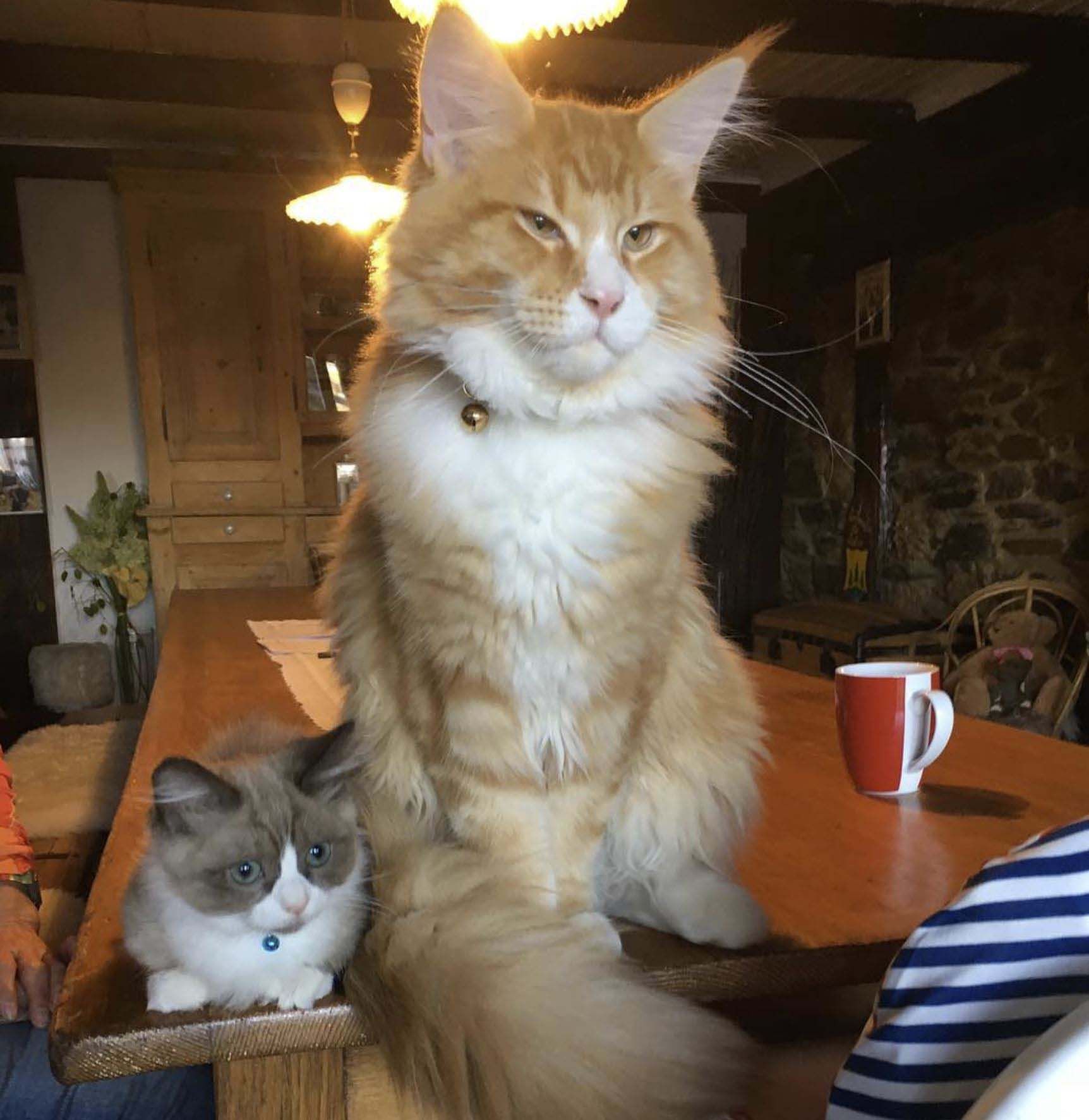 Maine Coon & Munchkin Friend #montyandomalley gallery image