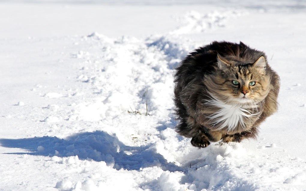 Norwegian Forest Cat running in the snow
