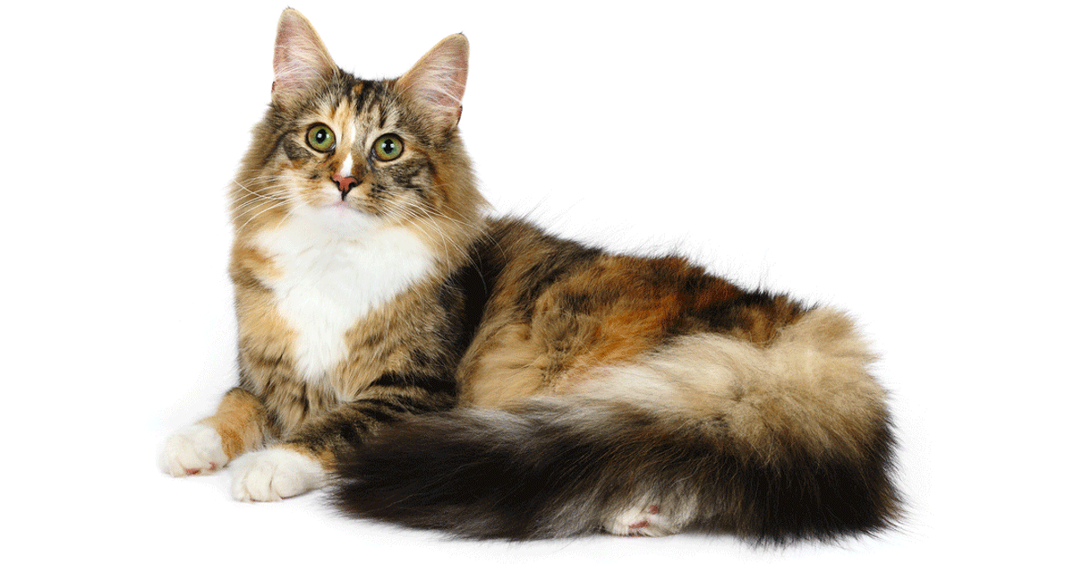 Norwegian Forest Cat gallery image