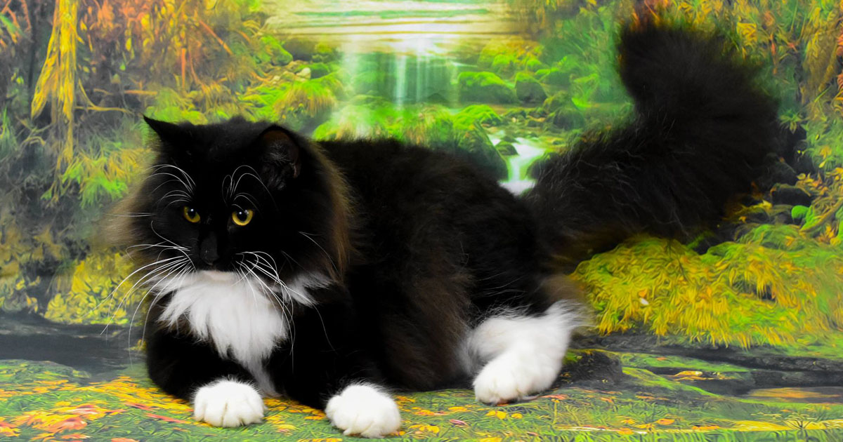 Guysndolls - Norwegian Forest Cat gallery image