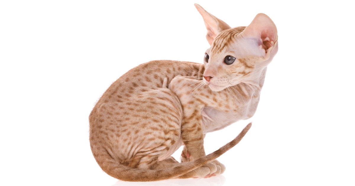 Peterbald Cat gallery image