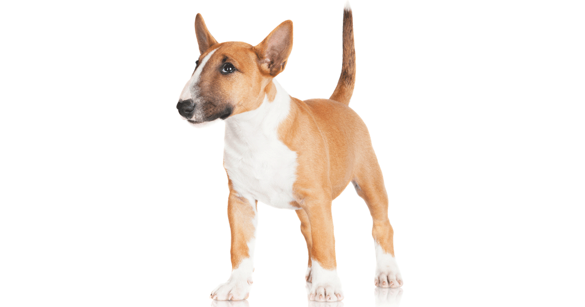 Miniature Bull Terrier gallery image