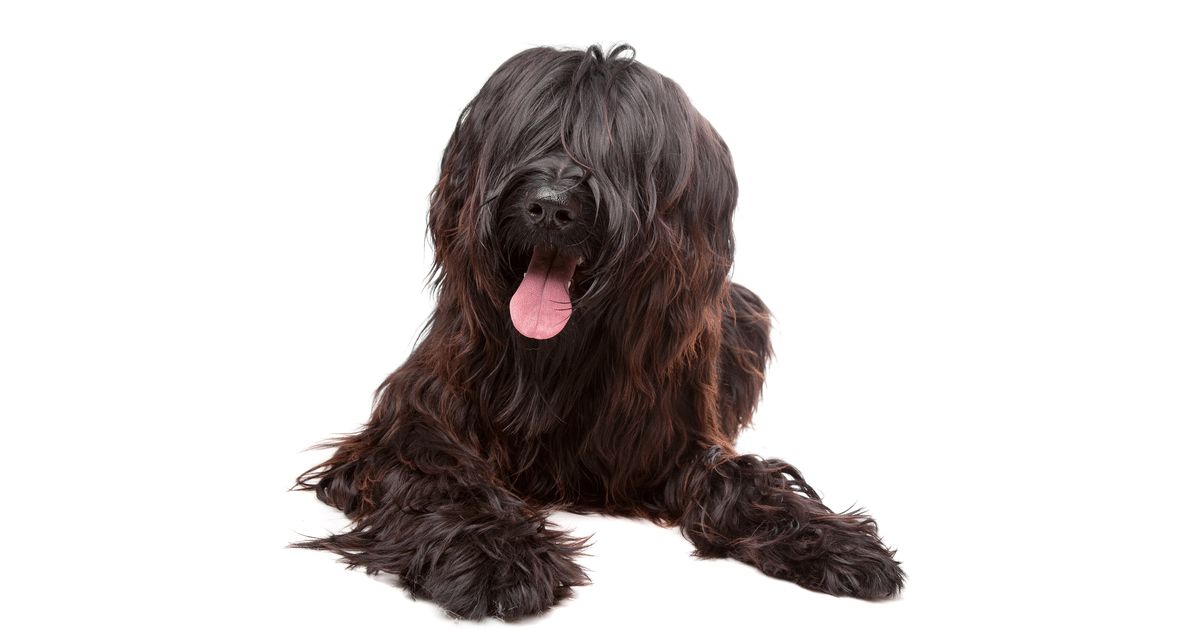 Briard gallery image