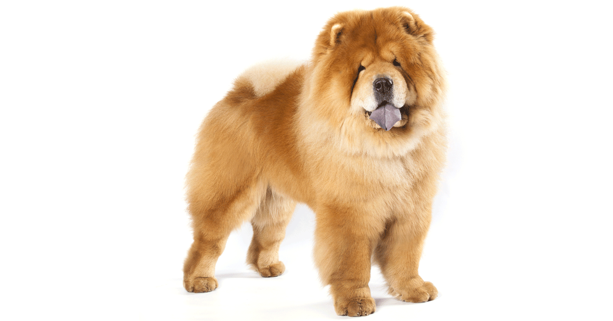 Chow Chow gallery image
