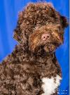Dogs Lagotto Romagnolo  - gallery image