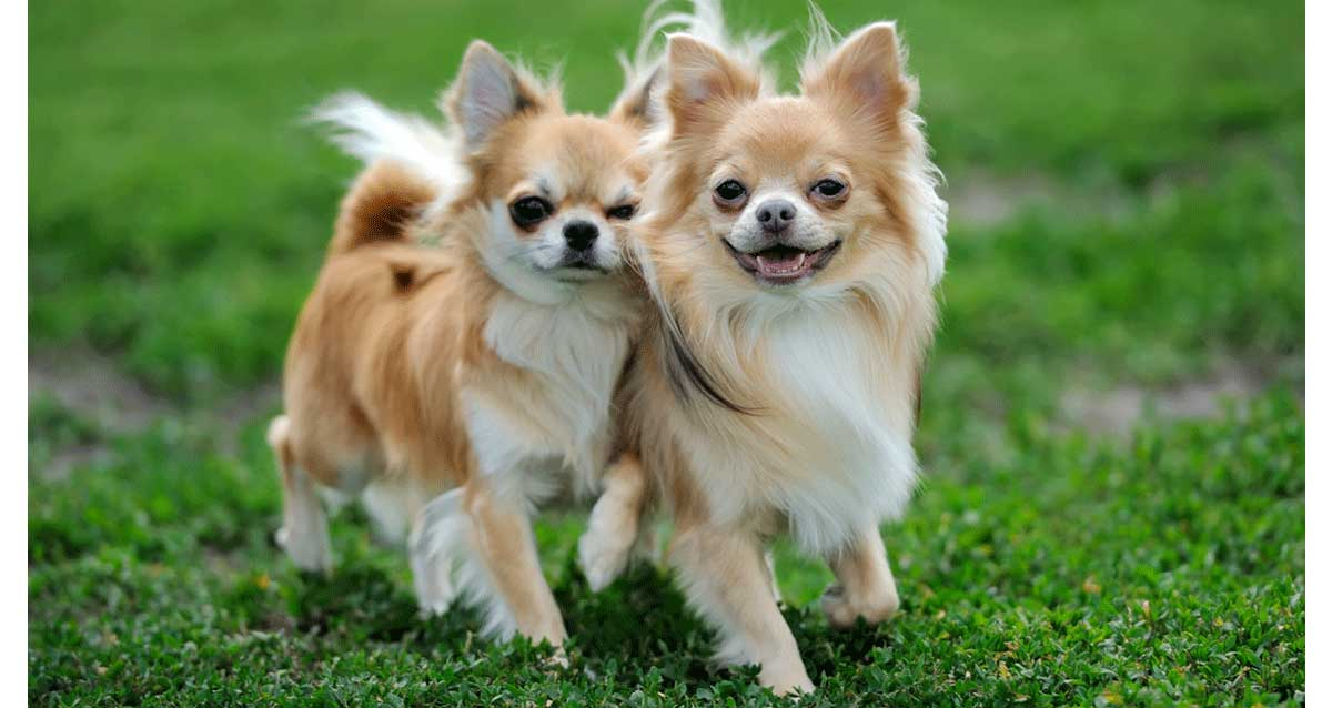 Chihuahua Breeders Australia Chihuahua Info Puppies