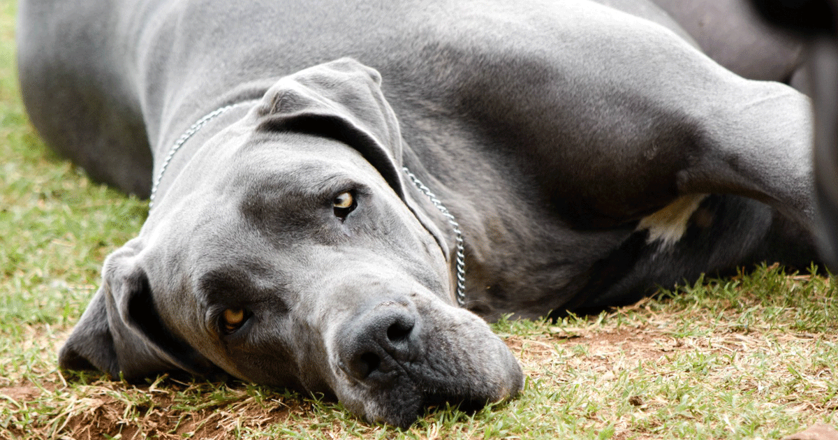 Great Dane Breeders Australia | Great Dane Info & puppies