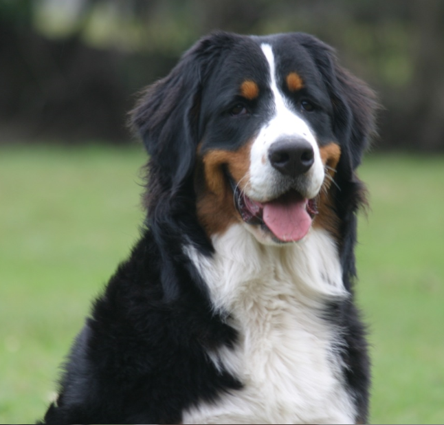 Bernese Mountain Dog Breeders Australia Bernese Mountain Dog Info